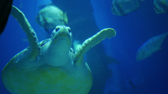 green turtle swimming in aquarium with other fishes - loggerhead sea turtle stock videos & royalty-free footage