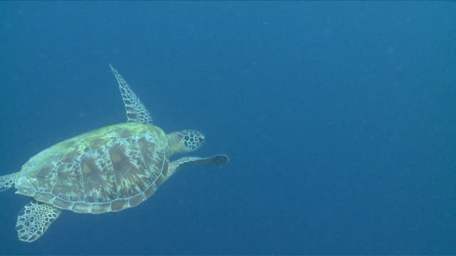 MS Green turtle swimming in blue / Visayan Islands, The Visayans, Philippines