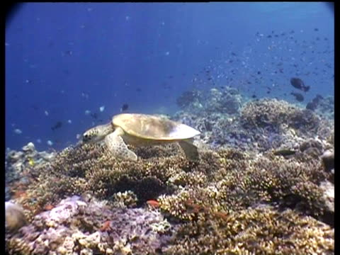 wa green turtle swimming over coral reef, anthias fish in foreground, sipadan, borneo, malaysia - anthias fish stock videos & royalty-free footage