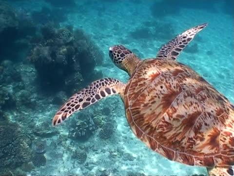 ms green turtle swimming over coral reef, sangalaki, indonesia - 水棲ガメ点の映像素材/bロール