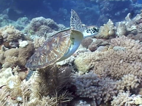 ms green turtle swimming over reef, with remoras fish on shell, layang layang, borneo, malaysia - remora fish stock videos & royalty-free footage
