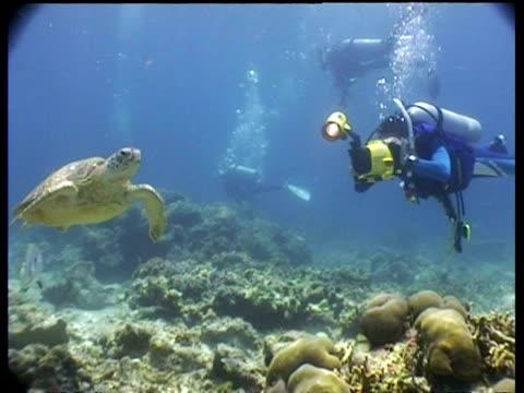MS Green Turtle swimming toward camera, CU Turtle swims past camera, divers and videographer in backgound, Sipadan, Borneo, Malaysia
