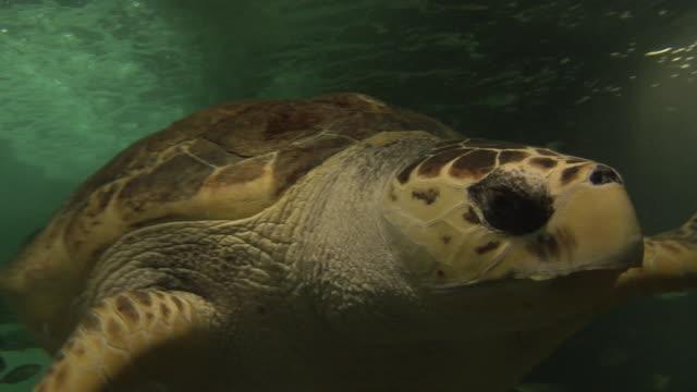 stockvideo's en b-roll-footage met cu, green turtle (chelonia mydas) swimming underwater, sydney, australia - soepschildpad