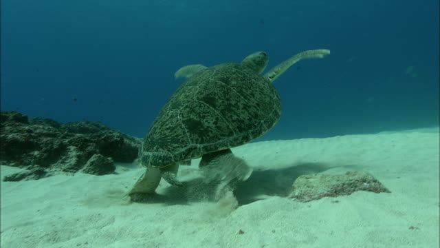 green turtle (chelonia mydas) swims away, ascension island - green turtle stock videos and b-roll footage