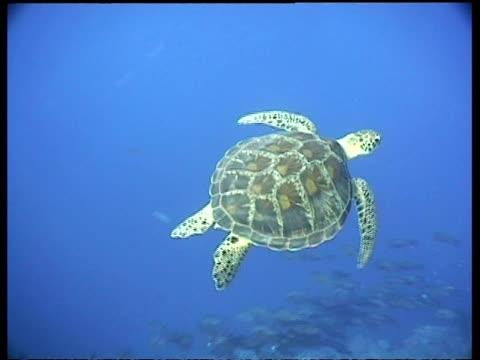 vídeos y material grabado en eventos de stock de ms green turtle, swims away from camera, layang layang, malaysia - patrones de colores