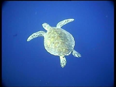vídeos y material grabado en eventos de stock de ms green turtle swims away from camera over reef, cu turtle shell, high angle, sipadan, borneo, malaysia - patrones de colores