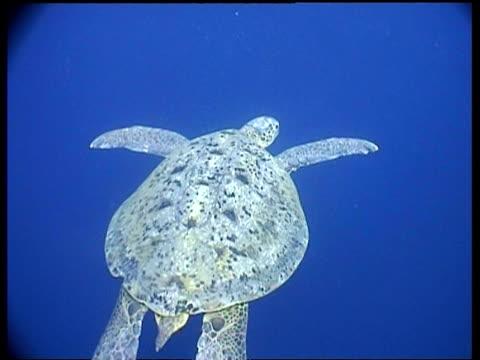 vídeos y material grabado en eventos de stock de ms green turtle swims away from camera, sipadan, borneo, malaysia - patrones de colores