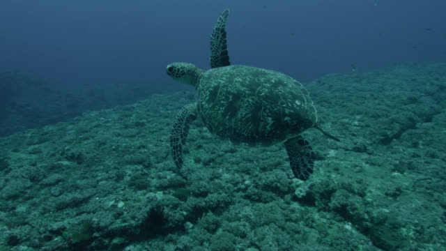green turtle (chelonia mydas) swims away from rocky ledge of yonaguni monument. japan - green turtle stock videos and b-roll footage