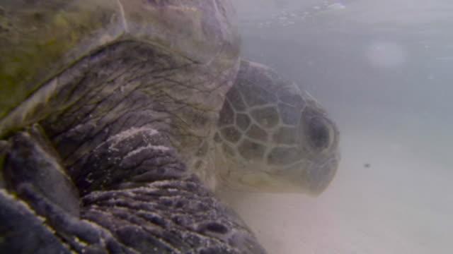 stockvideo's en b-roll-footage met green turtle (chelonia mydas) swims back out to sea, raine island, australia - soepschildpad