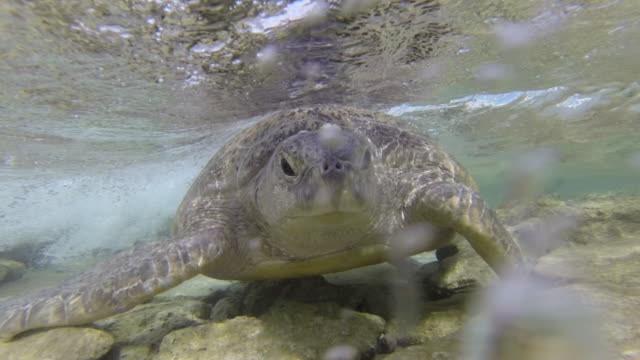 green turtle (chelonia mydas) swims back out to sea, raine island, australia - chelonioidea stock-videos und b-roll-filmmaterial