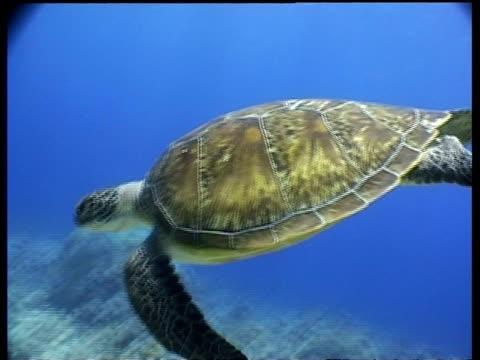 vídeos y material grabado en eventos de stock de ms green turtle swims downward from surface to reef, divers appear in the background, layang layang, malaysia - patrones de colores