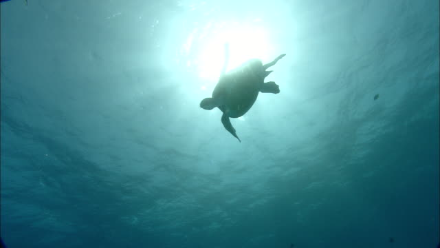 green turtle (chelonia mydas) swims in front of sun, ascension island - chelonioidea stock-videos und b-roll-filmmaterial