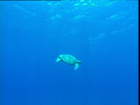 green turtle swims left to right, ascension island - green turtle stock videos and b-roll footage