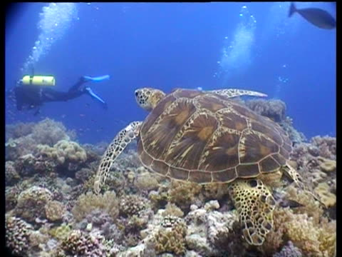 ms green turtle, swims off over reef, tracking right, divers in background, shoal of small fish scatter around turtle, layang layang, malaysia - animal colour stock videos & royalty-free footage