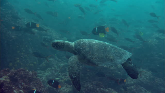 a green turtle swims over a reef amongst a school of king angelfish. available in hd. - エンゼルフィッシュ点の映像素材/bロール