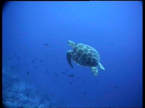 vídeos y material grabado en eventos de stock de ms green turtle swims over coral reef , divers in the background, layang layang, malaysia - patrones de colores