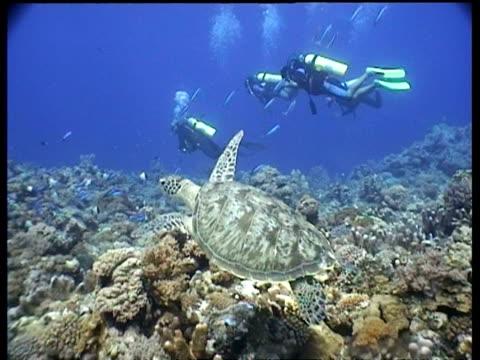 vídeos y material grabado en eventos de stock de ms green turtle, swims over coral reef, with divers in the background, layang layang, malaysia - patrones de colores