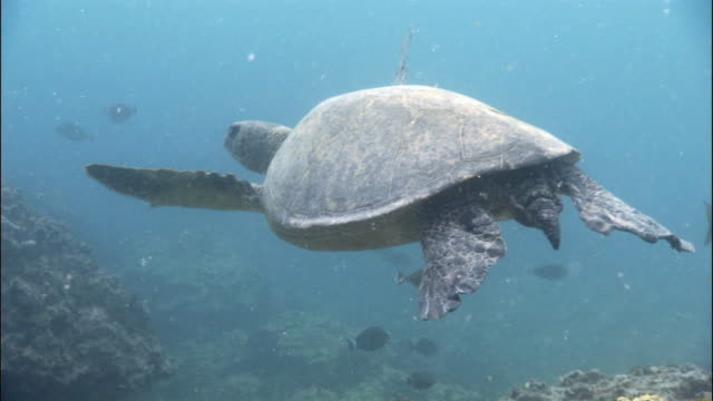 green turtle (chelonia mydas) swims over reef, hawaii  - green turtle stock videos and b-roll footage