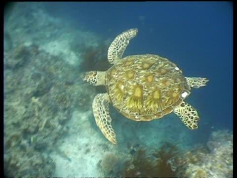 ms green turtle swims over reef, high angle, sipadan, borneo, malaysia - 水棲ガメ点の映像素材/bロール