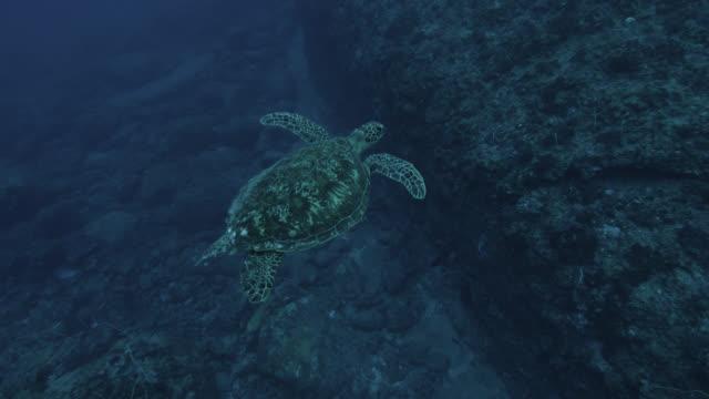 green turtle (chelonia mydas) swims over rocks near yonaguni monument. japan - green turtle stock videos & royalty-free footage