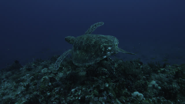 green turtle (chelonia mydas) swims over rocks near yonaguni monument. japan - 優美点の映像素材/bロール