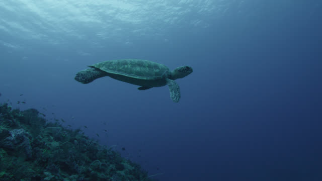 green turtle (chelonia mydas) swims over rocks near yonaguni monument. japan - chelonioidea stock-videos und b-roll-filmmaterial