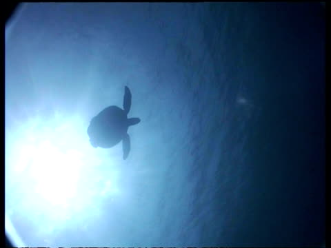 vídeos de stock, filmes e b-roll de wa green turtle swims overhead with sun in background, pans to second turtle swimming in sunrays, low angle, sipadan, borneo, malaysia - organismo aquático