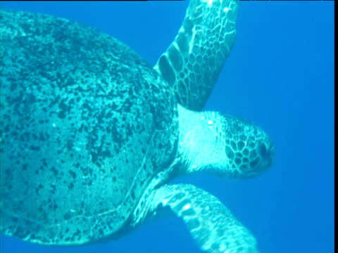 green turtle swims past camera, ascension island - green turtle stock videos and b-roll footage