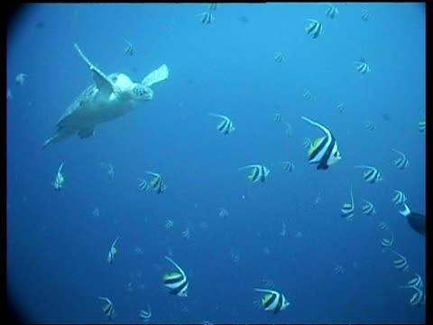 vídeos y material grabado en eventos de stock de ms green turtle, swims through shoal of bannerfish toward surface sipadan, borneo, malaysia - patrones de colores