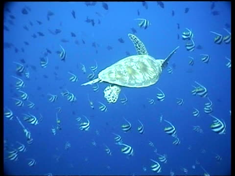 vídeos y material grabado en eventos de stock de ms green turtle swims with schooling bannerfish, sipadan, borneo, malaysia - organismo acuático