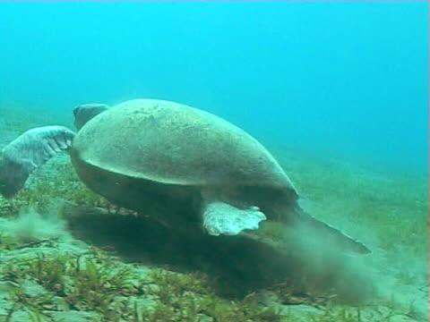 vídeos de stock e filmes b-roll de green turtle tracking over seagrass beds ws - sargaço