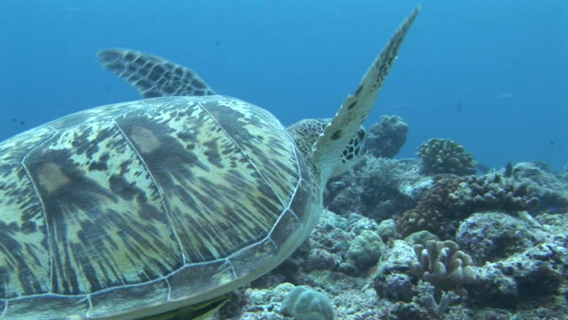 green turtle (chelonia mydas) tracking with it as it swims. palau, western pacific - green turtle stock videos and b-roll footage