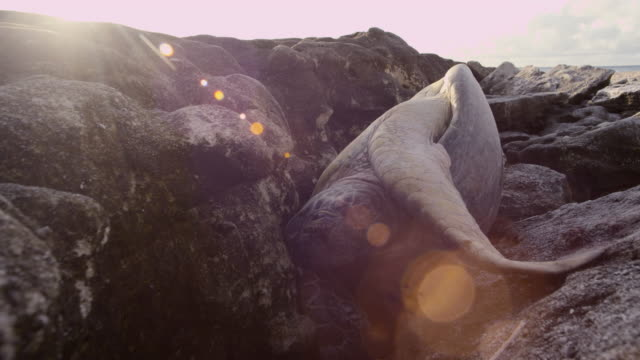 stockvideo's en b-roll-footage met green turtle (chelonia mydas) trapped among rocks, raine island, australia - soepschildpad