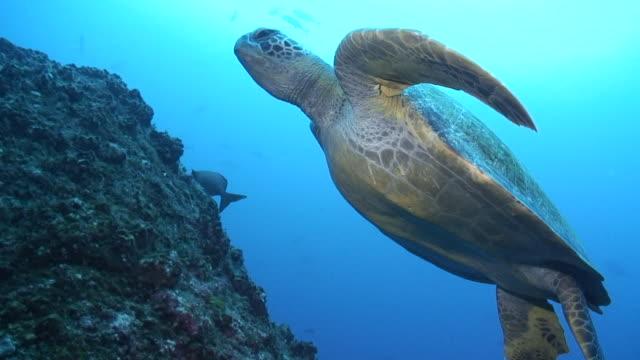 green turtle - コスタリカ点の映像素材/bロール