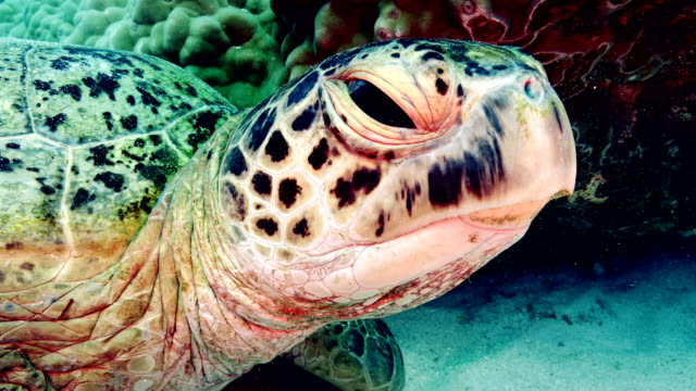 stockvideo's en b-roll-footage met green turtle - zeedieren