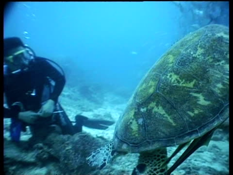cu green turtle with remoras on underside, swimming low over reef with diver in background, ms turtle swims away from camera through jackfish school, sipadan, borneo, malaysia - aqualung diving equipment stock videos & royalty-free footage