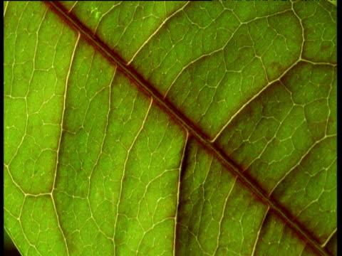 green veins of leaf - vein stock videos & royalty-free footage