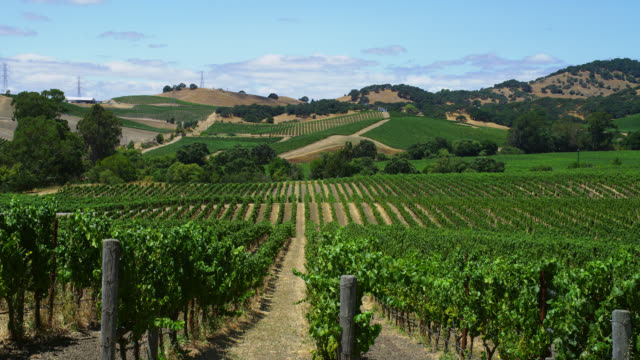 wide pan green vines in hilly vineyard - vineyard stock videos & royalty-free footage