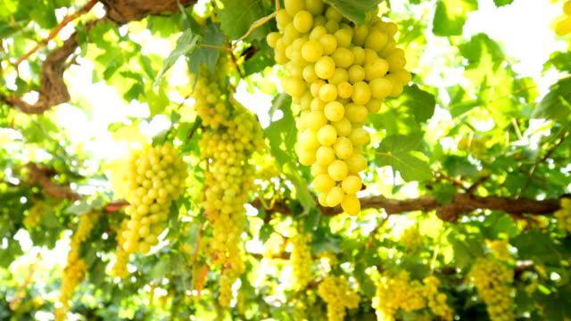 green vineyards in turpan - grape stock videos & royalty-free footage