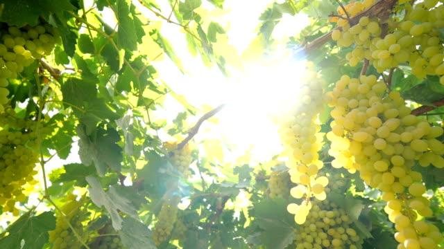 vidéos et rushes de vignobles verts à turpan - plante grimpante