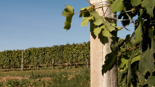 green vineyards row and leaves close up in summer on a sunny day - piemonte video stock e b–roll
