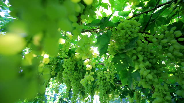 green vineyards - wine stock videos & royalty-free footage
