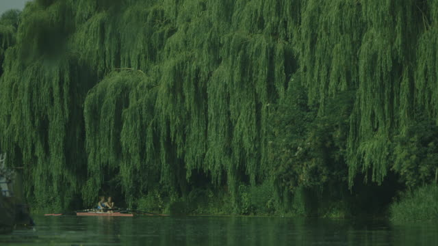 green weeping willows adorn the banks of the calm river cam as two young women row round a corner, cambridge, uk. - oar stock videos and b-roll footage