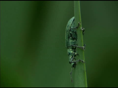 green weevil eats leaf blade, hungary - animal nose stock videos & royalty-free footage