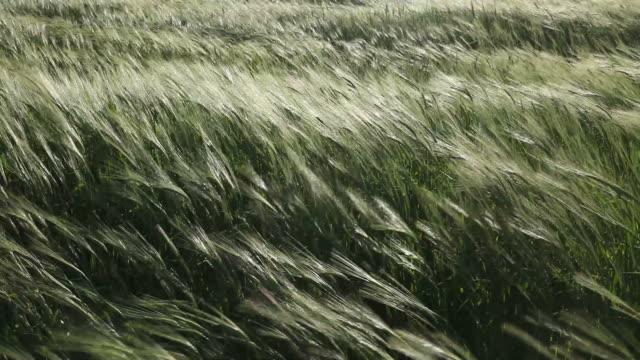 Green wheat field in heavy wind near Antalya, Turkey
