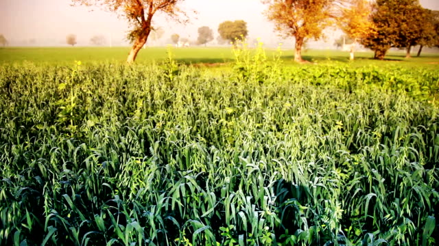 Green wheat field in the early morning