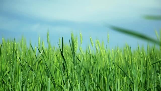 verde campo di grano in una giornata ventosa - zoom in avanti video stock e b–roll