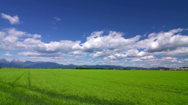 グリーン小麦のフィールド幅広