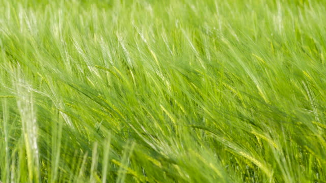green wheat fields in the wind - mgost stock videos and b-roll footage