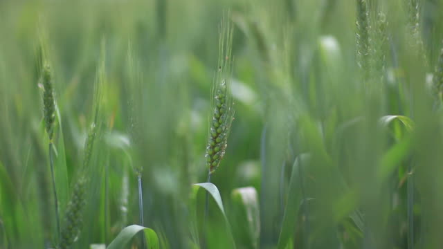 green wheat, soft focus - ear of wheat stock videos and b-roll footage